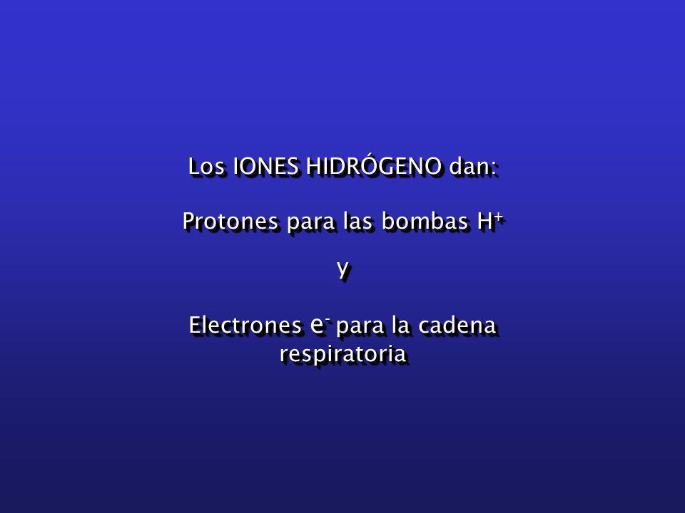 Los IONES HIDRÓGENO dan: Protones para las bombas H + y Electrones e - para la cadena respiratoria Los IONES HIDRÓGENO dan: Protones para las bombas H + y Electrones e - para la cadena respiratoria