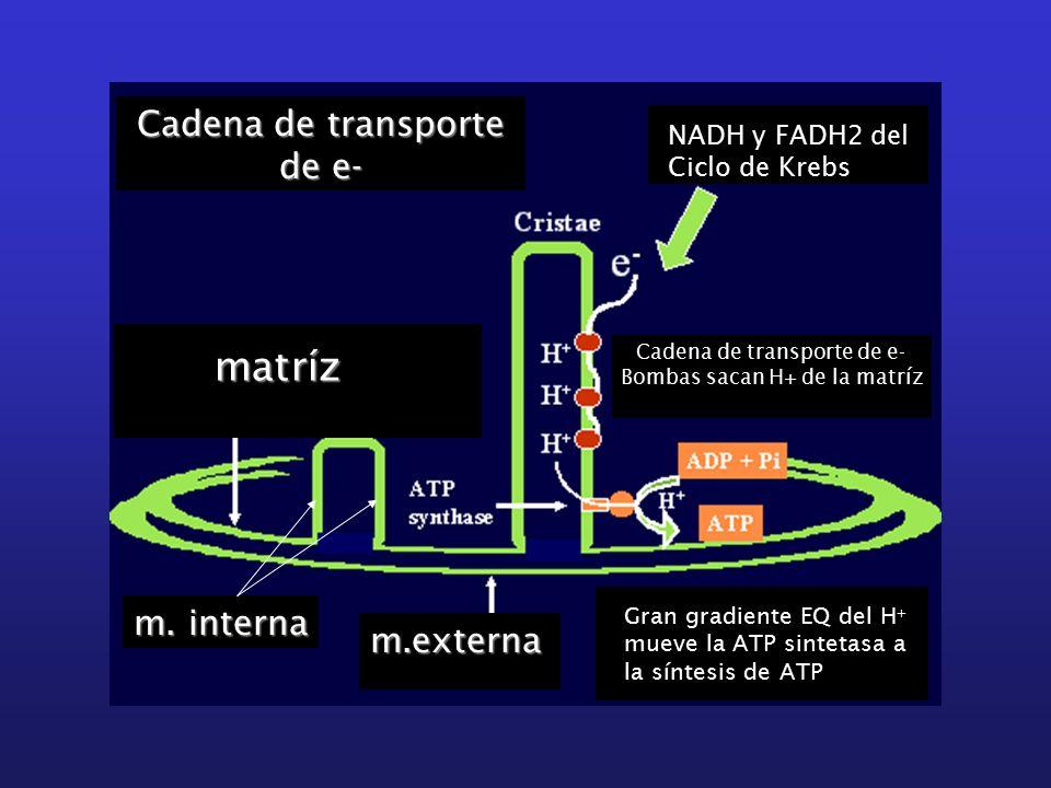 Cadena de transporte de e- m.externa m.