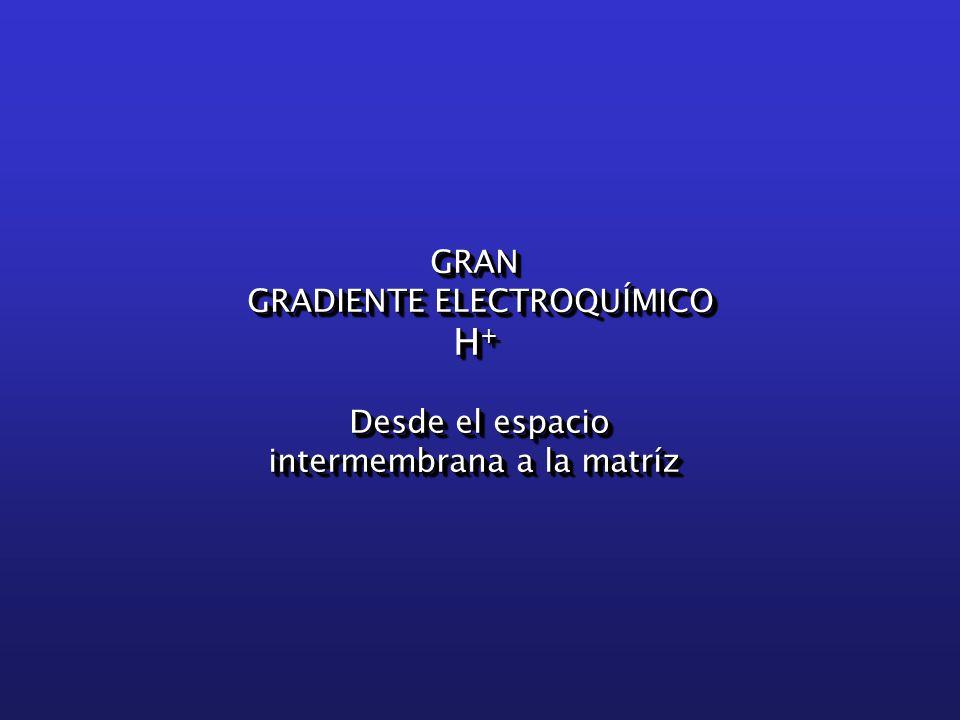 GRAN GRADIENTE ELECTROQUÍMICO H + Desde el espacio intermembrana a la matríz GRAN GRADIENTE ELECTROQUÍMICO H + Desde el espacio intermembrana a la matríz