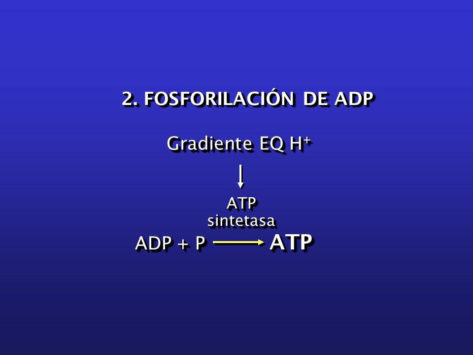 ADP + P ATP ATPsintetasaATPsintetasa Gradiente EQ H + 2. FOSFORILACIÓN DE ADP