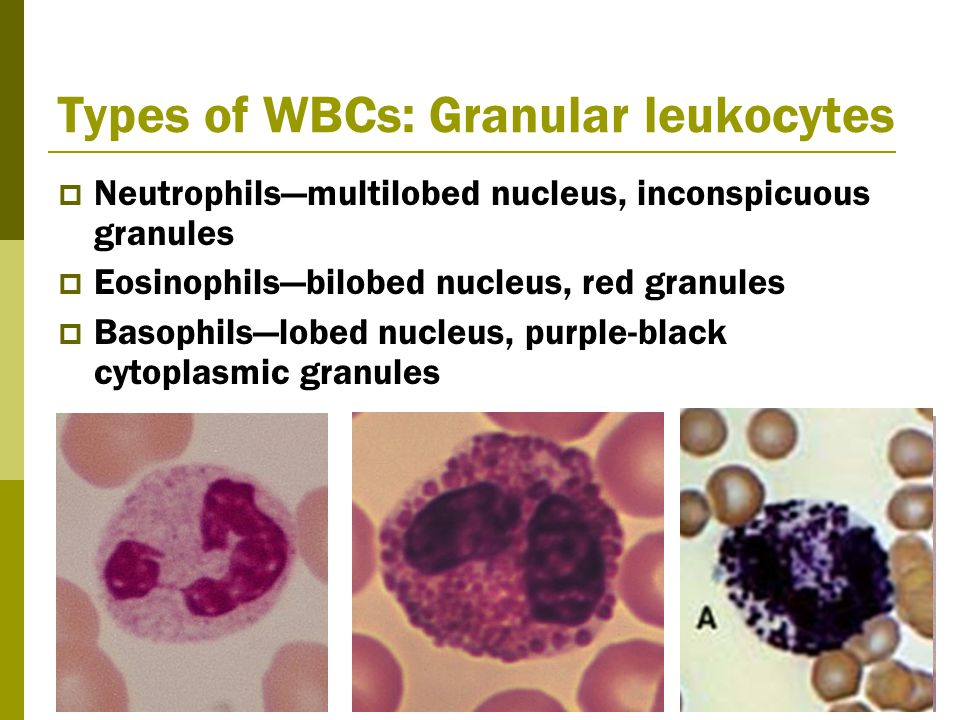 Types of WBCs: Granular leukocytes  Neutrophils—multilobed nucleus, inconspicuous granules  Eosinophils—bilobed nucleus, red granules  Basophils—lobed nucleus, purple-black cytoplasmic granules