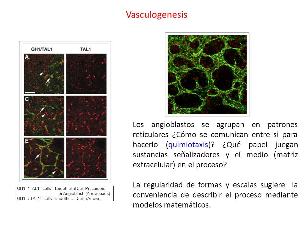 Vasculogenesis QH1 - / TAL1 + cells : Endothelial Cell Precursors or Angioblast (Arrowheads) QH1 + / TAL1 + cells : Endothelial Cell (Arrows) Los angioblastos se agrupan en patrones reticulares ¿Cómo se comunican entre si para hacerlo (quimiotaxis).