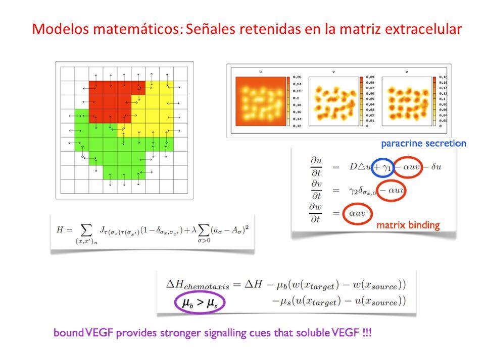 Modelos matemáticos: Señales retenidas en la matriz extracelular