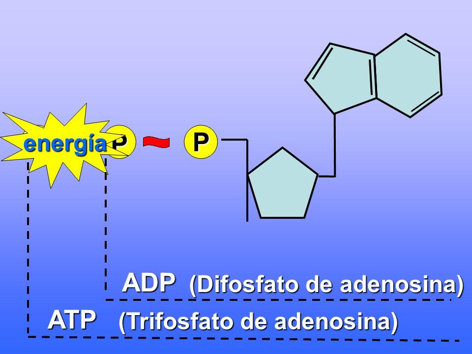 P PP energía ADP (Difosfato de adenosina) ATP (Trifosfato de adenosina)
