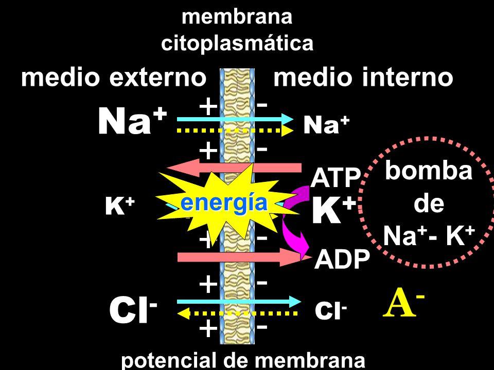 medio externomedio interno membrana citoplasmática Na + Cl - K+K+ K+K+ ------------ ++++++++++++ potencial de membrana bomba de Na + - K + A-A- ATP ADP energía