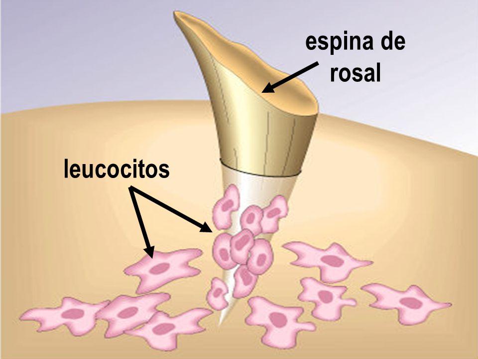 espina de rosal leucocitos