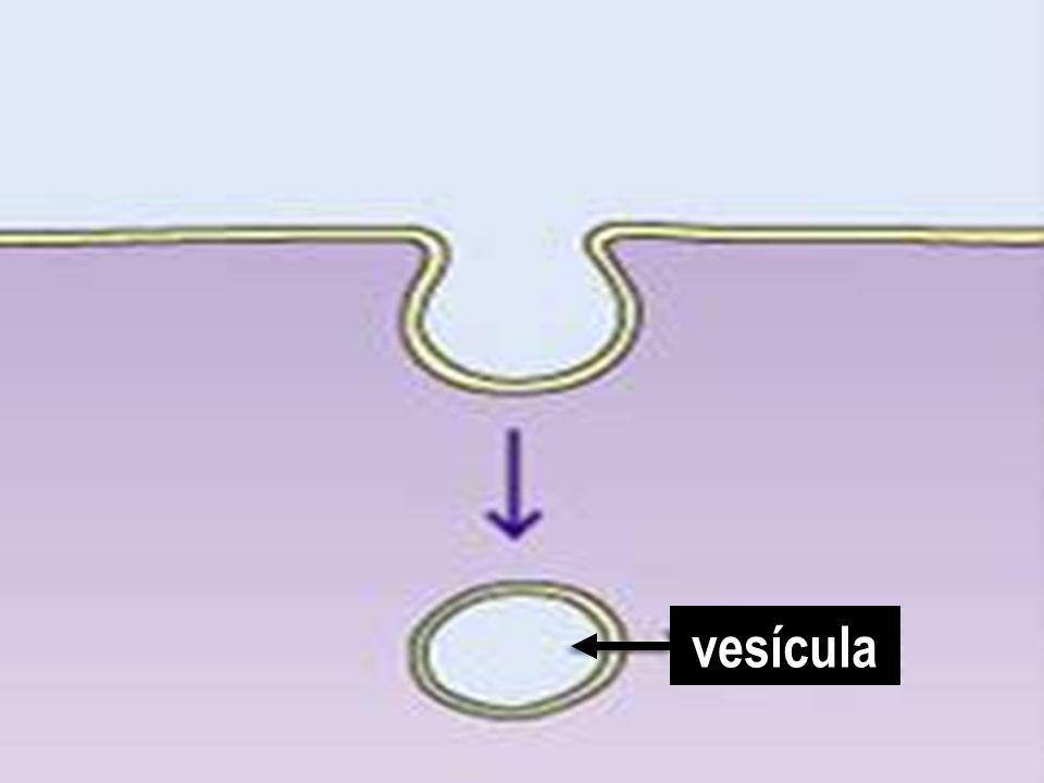 vesícula