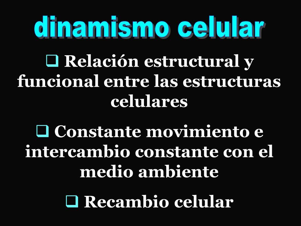  Relación estructural y funcional entre las estructuras celulares  Constante movimiento e intercambio constante con el medio ambiente  Recambio celular
