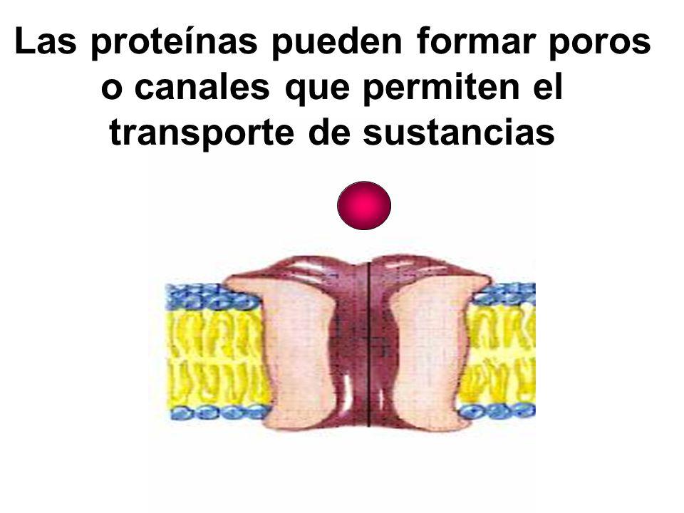 Las proteínas pueden formar poros o canales que permiten el transporte de sustancias