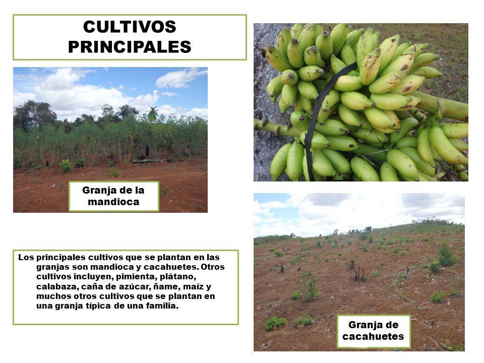 CULTIVOS PRINCIPALES Los principales cultivos que se plantan en las granjas son mandioca y cacahuetes.