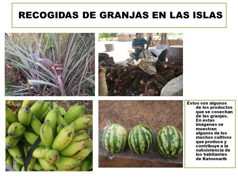 RECOGIDAS DE GRANJAS EN LAS ISLAS Éstos son algunos de los productos que se cosechan de las granjas.
