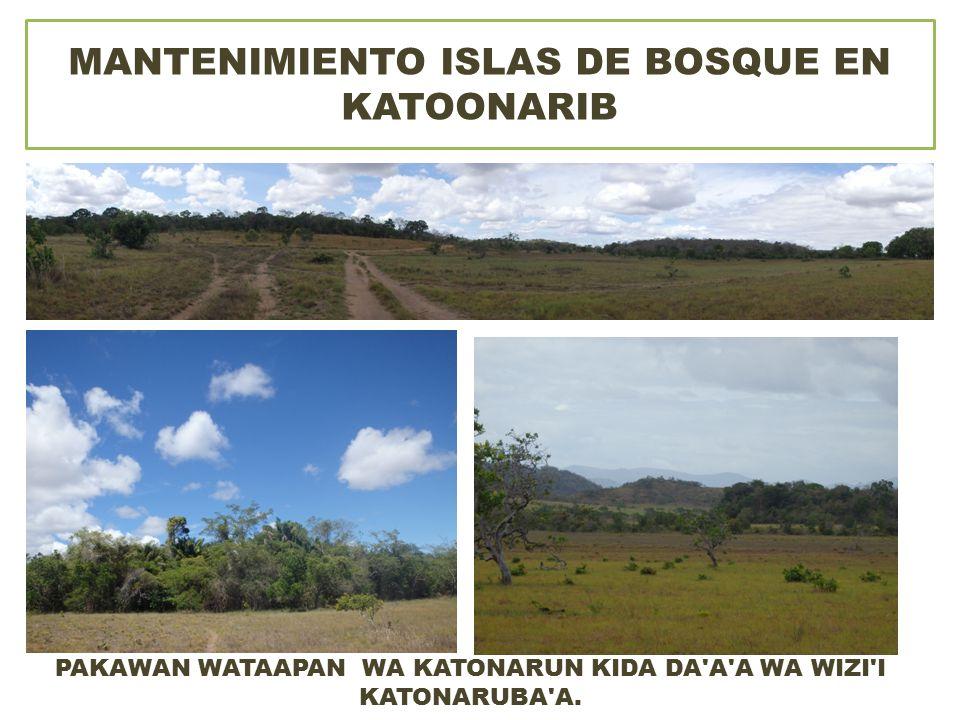 MANTENIMIENTO ISLAS DE BOSQUE EN KATOONARIB PAKAWAN WATAAPAN WA KATONARUN KIDA DA A A WA WIZI I KATONARUBA A.