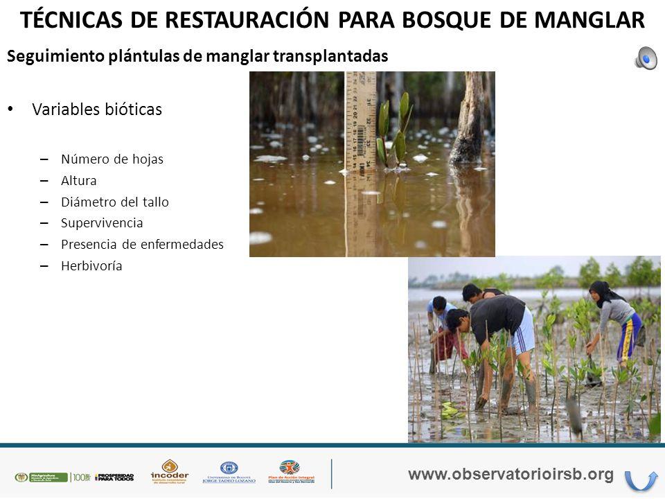 TÉCNICAS DE RESTAURACIÓN PARA BOSQUE DE MANGLAR www.observatorioirsb.org Trasplante plántulas de manglar al área seleccionada para la restauración.