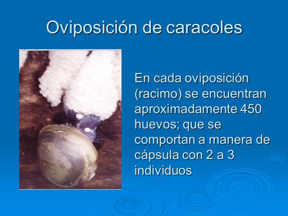 Oviposición de caracoles En cada oviposición (racimo) se encuentran aproximadamente 450 huevos; que se comportan a manera de cápsula con 2 a 3 individuos