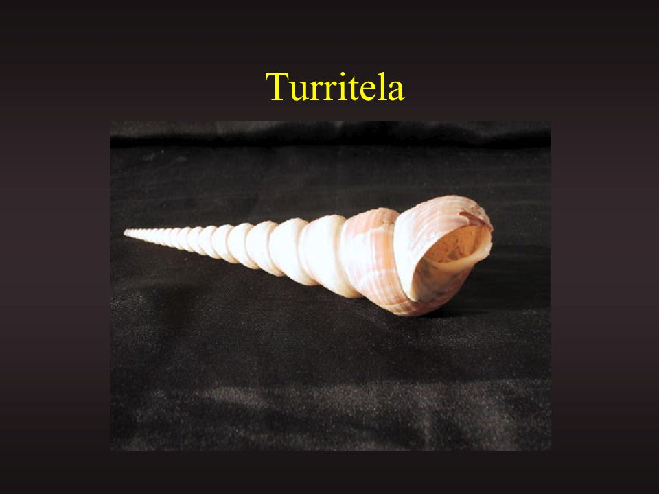 Turritela