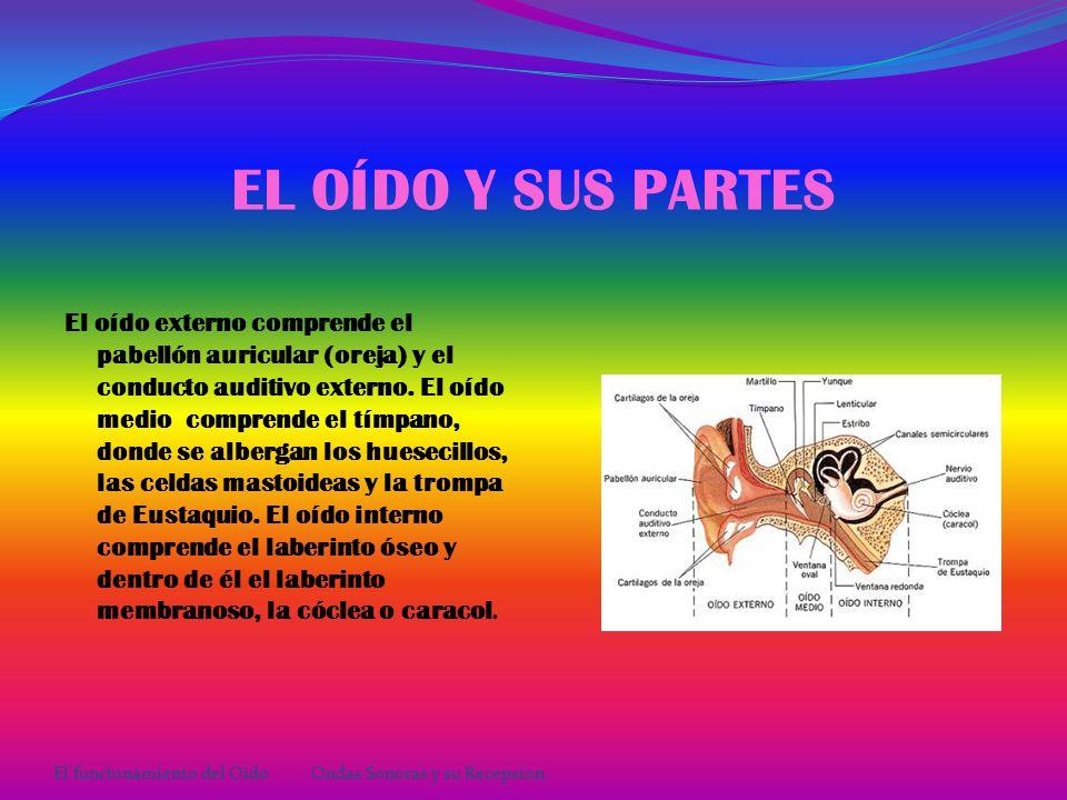 OSORIO ROSALES YARELI GRUPO: 303 EQUIPO: 28 El funcionamiento del OídoOndas Sonoras y su Recepción
