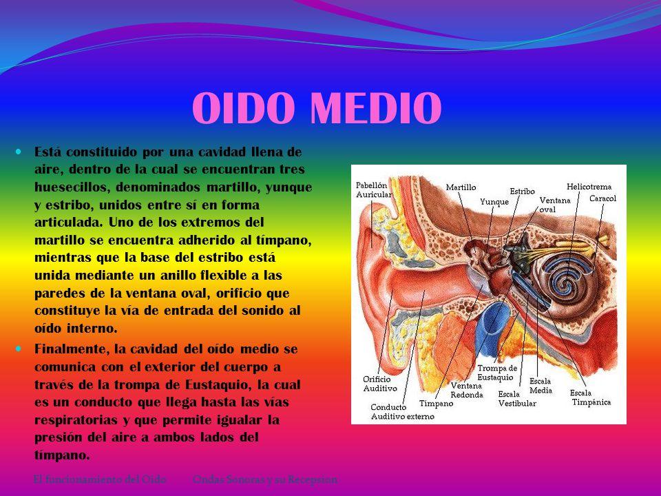 OIDO EXTERNO oído externo está formado por: - El pabellón de la oreja, que tiene forma de concha, lo que ayuda para que pueda recoger las ondas sonoras y conducirlas al oído medio.