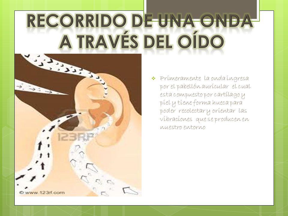  Primeramente la onda ingresa por el pabellón auricular el cual esta compuesto por cartílago y piel y tiene forma hueca para poder recolectar y orientar las vibraciones que se producen en nuestro entorno