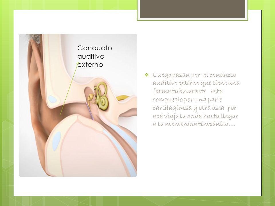  Luego pasan por el conducto auditivo externo que tiene una forma tubular este esta compuesto por una parte cartilaginosa y otra ósea por acá viaja la onda hasta llegar a la membrana timpánica….
