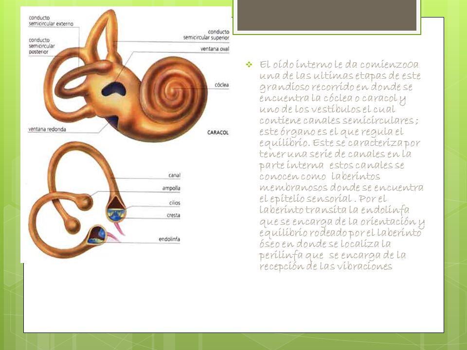 El oído interno le da comienzo0a una de las ultimas etapas de este grandioso recorrido en donde se encuentra la cóclea o caracol y uno de los vestíbulos el cual contiene canales semicirculares ; este órgano es el que regula el equilibrio.