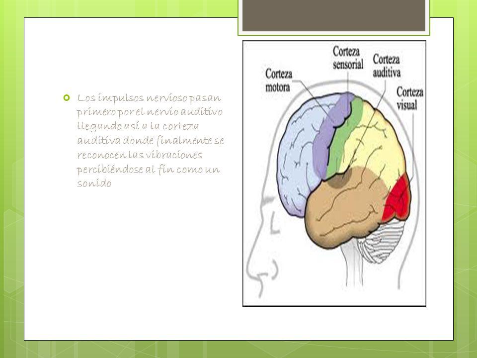  Los impulsos nervioso pasan primero por el nervio auditivo llegando así a la corteza auditiva donde finalmente se reconocen las vibraciones percibiéndose al fin como un sonido