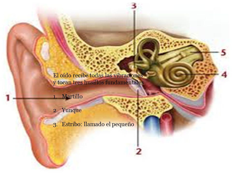 El oído recibe todas las vibraciones y tocan tres husillos fundamentales : 1.Martillo 2.Yunque 3.Estribo: llamado el pequeño