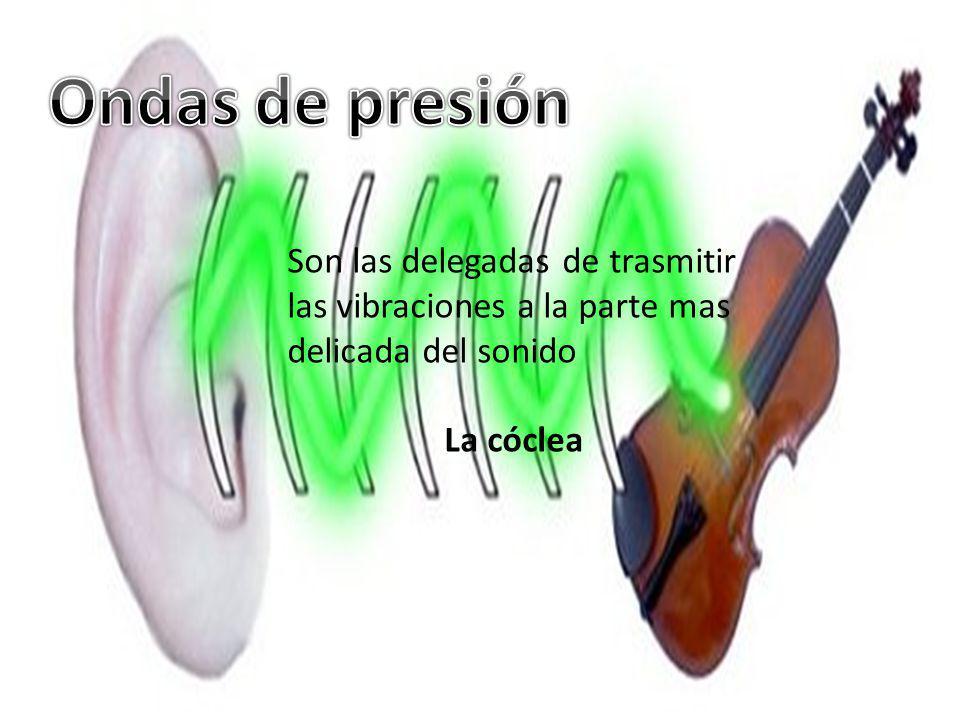 Son las delegadas de trasmitir las vibraciones a la parte mas delicada del sonido La cóclea