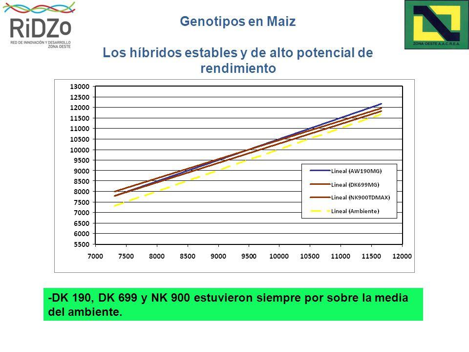 Genotipos en Maiz Los híbridos estables y de alto potencial de rendimiento -DK 190, DK 699 y NK 900 estuvieron siempre por sobre la media del ambiente.