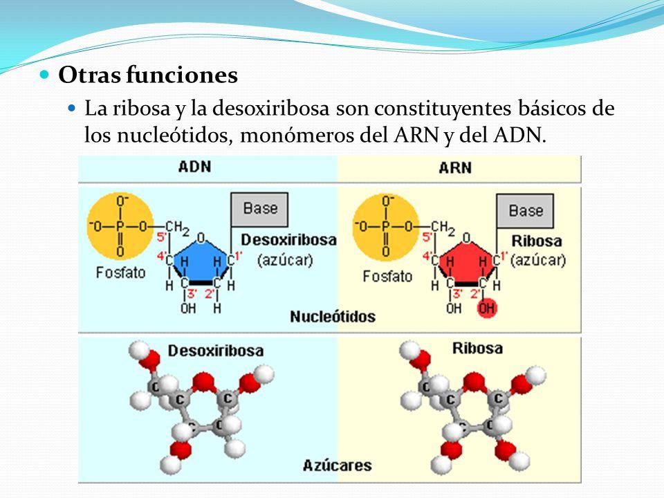 Otras funciones La ribosa y la desoxiribosa son constituyentes básicos de los nucleótidos, monómeros del ARN y del ADN.