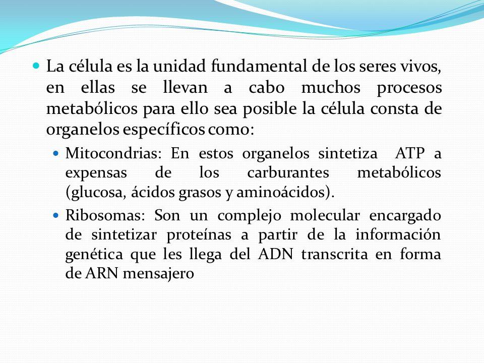 La célula es la unidad fundamental de los seres vivos, en ellas se llevan a cabo muchos procesos metabólicos para ello sea posible la célula consta de organelos específicos como: Mitocondrias: En estos organelos sintetiza ATP a expensas de los carburantes metabólicos (glucosa, ácidos grasos y aminoácidos).