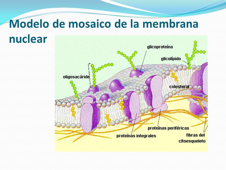 Modelo de mosaico de la membrana nuclear
