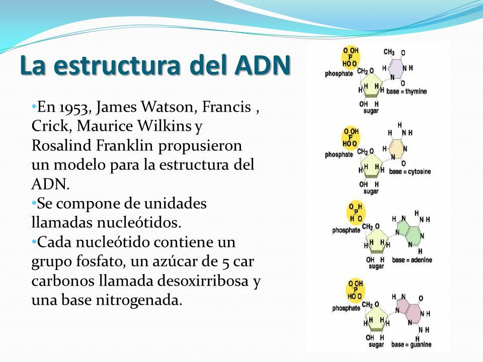 La estructura del ADN En 1953, James Watson, Francis, Crick, Maurice Wilkins y Rosalind Franklin propusieron un modelo para la estructura del ADN.