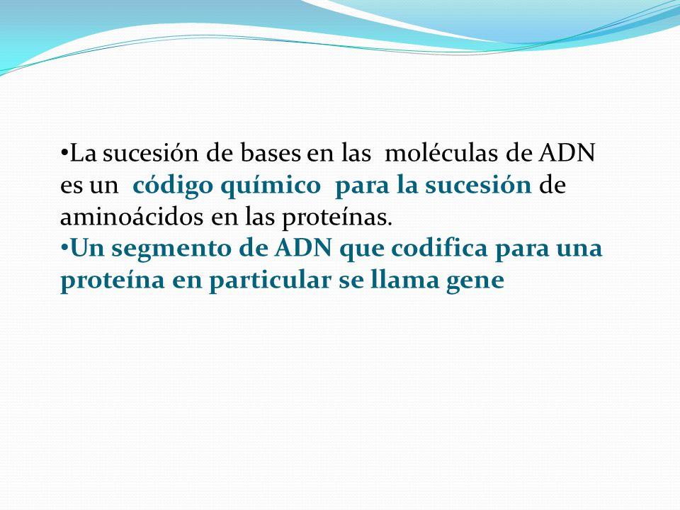 La sucesión de bases en las moléculas de ADN es un código químico para la sucesión de aminoácidos en las proteínas.