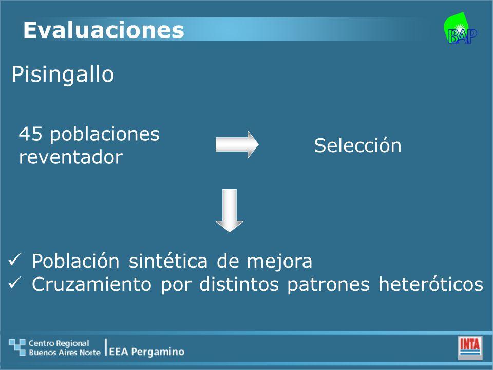 Pisingallo 45 poblaciones reventador Selección Población sintética de mejora Cruzamiento por distintos patrones heteróticos Evaluaciones