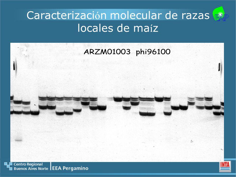 Caracterizaci ó n molecular de razas locales de ma í z