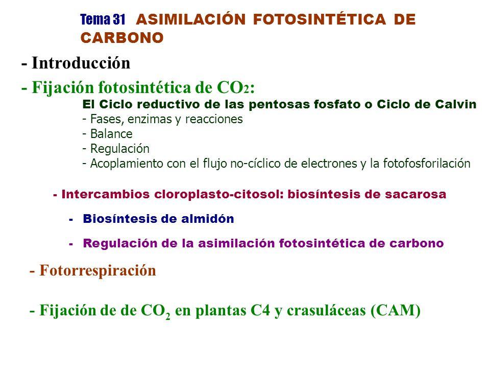 Tema 31 ASIMILACIÓN FOTOSINTÉTICA DE CARBONO - Introducción - Fijación fotosintética de CO 2 : El Ciclo reductivo de las pentosas fosfato o Ciclo de Calvin - Fases, enzimas y reacciones - Balance - Regulación - Acoplamiento con el flujo no-cíclico de electrones y la fotofosforilación - Intercambios cloroplasto-citosol: biosíntesis de sacarosa - Biosíntesis de almidón - Regulación de la asimilación fotosintética de carbono - Fotorrespiración - Fijación de de CO 2 en plantas C4 y crasuláceas (CAM)