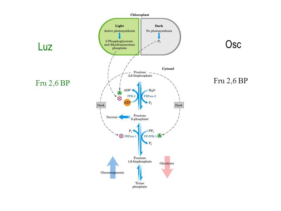 Luz Osc Fru 2,6 BP
