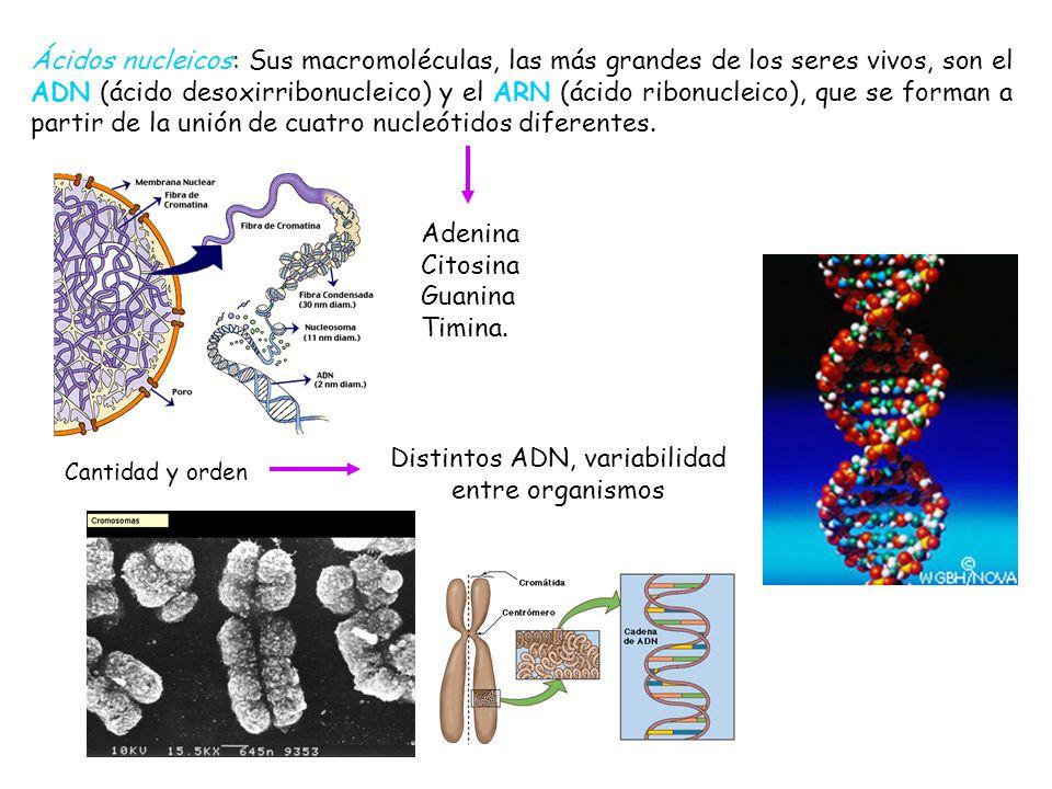 Ácidos nucleicos: Sus macromoléculas, las más grandes de los seres vivos, son el ADN (ácido desoxirribonucleico) y el ARN (ácido ribonucleico), que se forman a partir de la unión de cuatro nucleótidos diferentes.