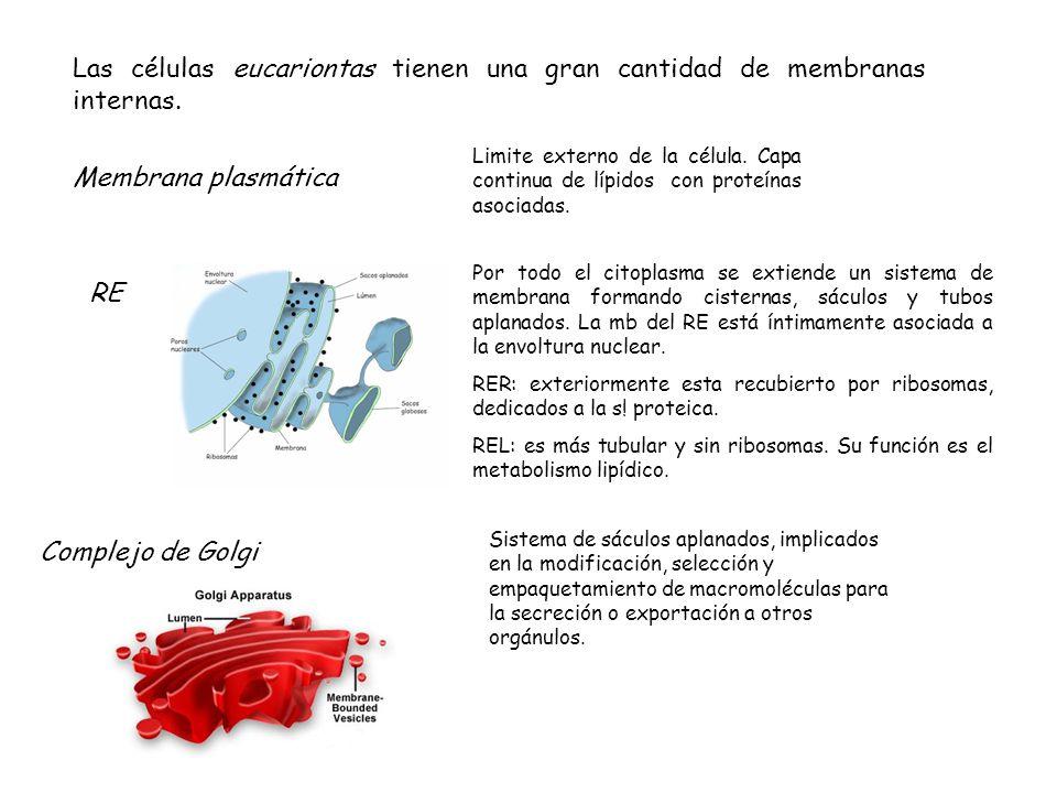 Las células eucariontas tienen una gran cantidad de membranas internas.