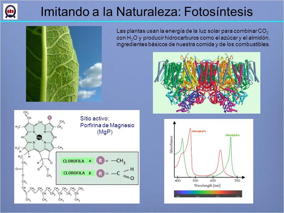 Sítio activo: Porfirina de Magnesio (MgP) Imitando a la Naturaleza: Fotosíntesis Las plantas usan la energía de la luz solar para combinar CO 2 con H 2 O y producir hidrocarburos como el azúcar y el almidón, ingredientes básicos de nuestra comida y de los combustibles.