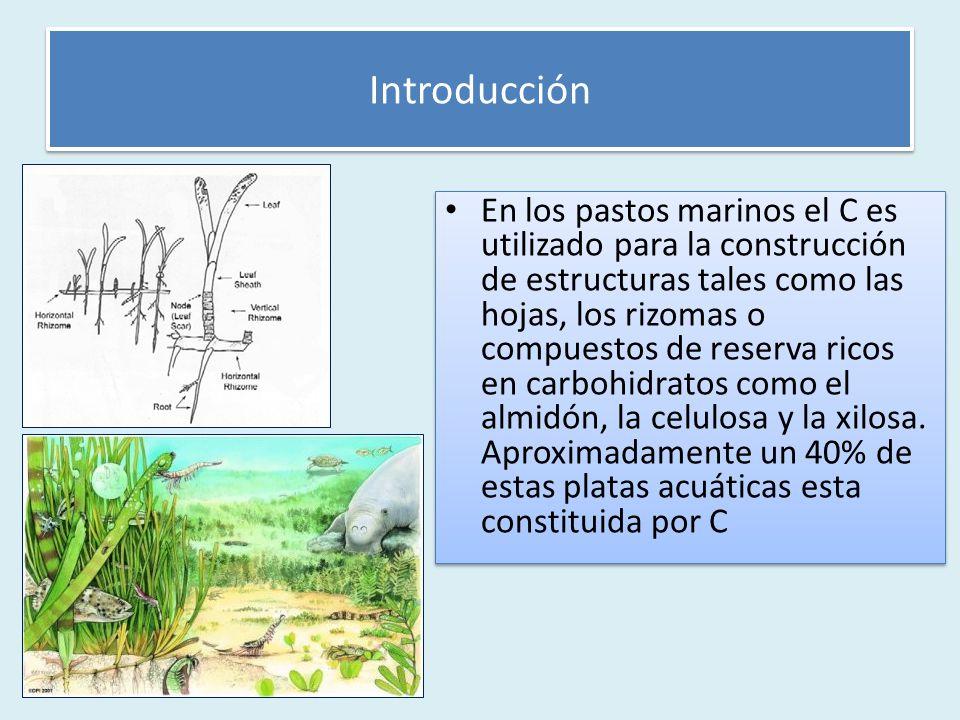 En los pastos marinos el C es utilizado para la construcción de estructuras tales como las hojas, los rizomas o compuestos de reserva ricos en carbohidratos como el almidón, la celulosa y la xilosa.