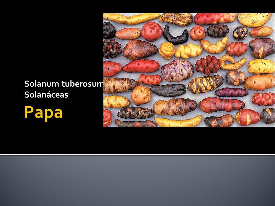 Solanum tuberosum Solanáceas