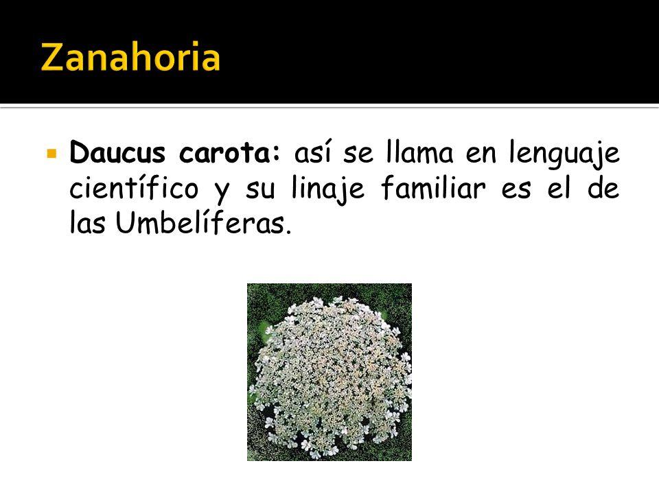  Daucus carota: así se llama en lenguaje científico y su linaje familiar es el de las Umbelíferas.
