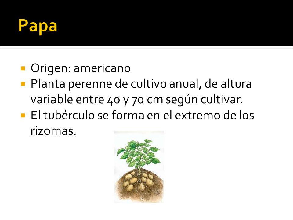  Origen: americano  Planta perenne de cultivo anual, de altura variable entre 40 y 70 cm según cultivar.
