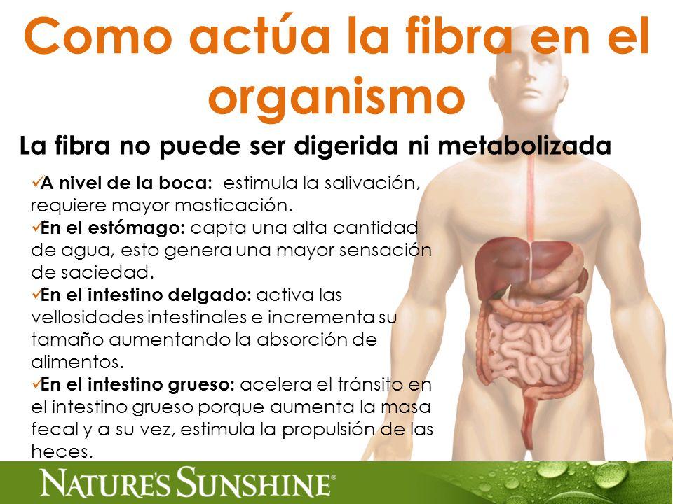 Como actúa la fibra en el organismo La fibra no puede ser digerida ni metabolizada A nivel de la boca: estimula la salivación, requiere mayor masticación.