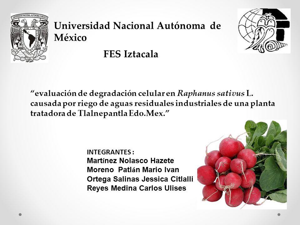 Universidad Nacional Autónoma de México FES Iztacala evaluación de degradación celular en Raphanus sativus L.