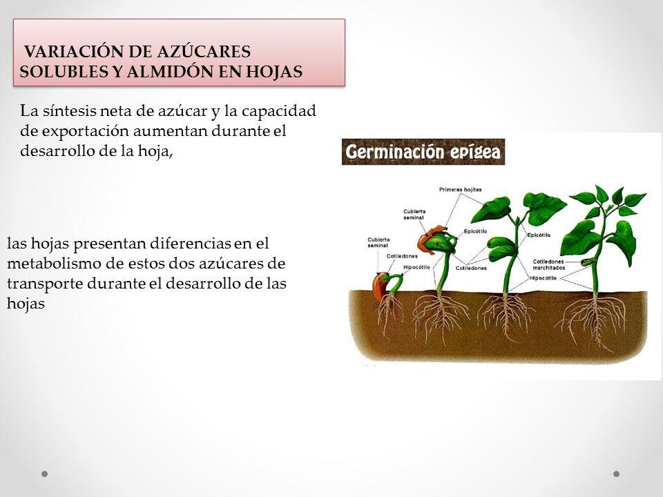 VARIACIÓN DE AZÚCARES SOLUBLES Y ALMIDÓN EN HOJAS La síntesis neta de azúcar y la capacidad de exportación aumentan durante el desarrollo de la hoja, las hojas presentan diferencias en el metabolismo de estos dos azúcares de transporte durante el desarrollo de las hojas