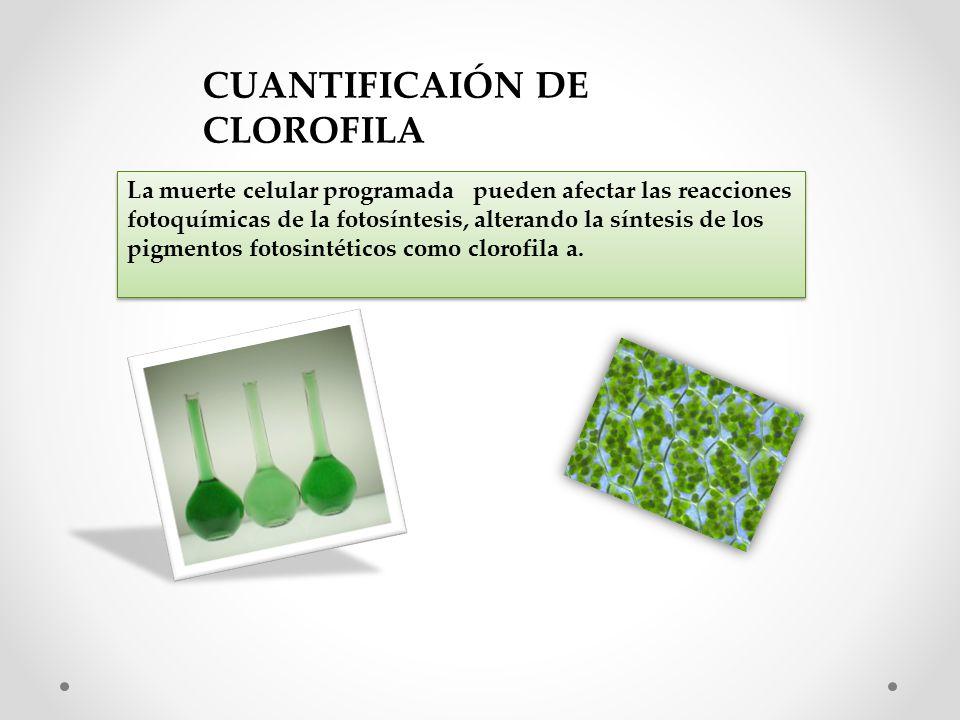 La muerte celular programada pueden afectar las reacciones fotoquímicas de la fotosíntesis, alterando la síntesis de los pigmentos fotosintéticos como clorofila a.