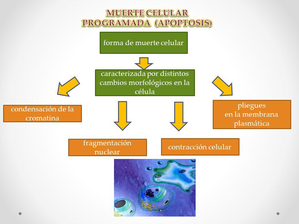 forma de muerte celular caracterizada por distintos cambios morfológicos en la célula condensación de la cromatina fragmentación nuclear pliegues en la membrana plasmática contracción celular