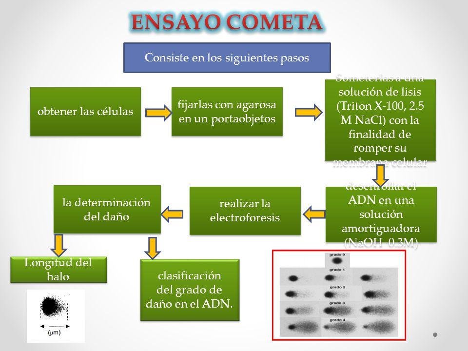 Consiste en los siguientes pasos obtener las células fijarlas con agarosa en un portaobjetos Someterlas a una solución de lisis (Triton X-100, 2.5 M NaCl) con la finalidad de romper su membrana celular Someterlas a una solución de lisis (Triton X-100, 2.5 M NaCl) con la finalidad de romper su membrana celular desenrollar el ADN en una solución amortiguadora (NaOH 0.3M) desenrollar el ADN en una solución amortiguadora (NaOH 0.3M) realizar la electroforesis la determinación del daño Longitud del halo clasificación del grado de daño en el ADN.